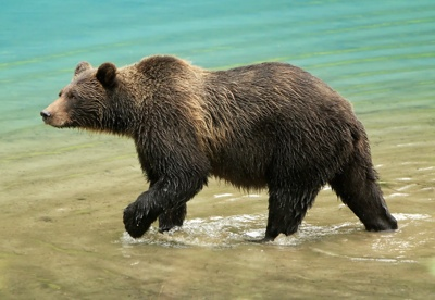 Grizzly bear walking - photo#24